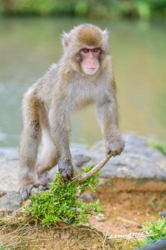 monkey park iwatayama kyoto- ELA1174