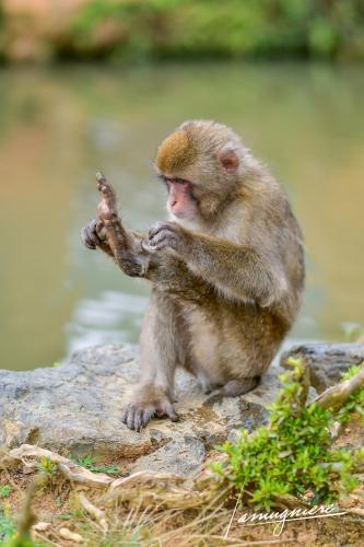 monkey park iwatayama kyoto- ELA1178