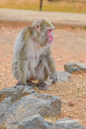 monkey park iwatayama kyoto- ELA1189