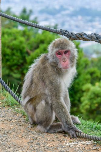 monkey park iwatayama kyoto- ELA1191
