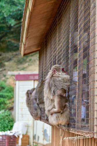 monkey park iwatayama kyoto- ELA1196