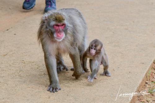 monkey park iwatayama kyoto- ELA1207