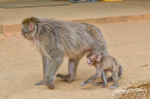 monkey park iwatayama kyoto- ELA1210
