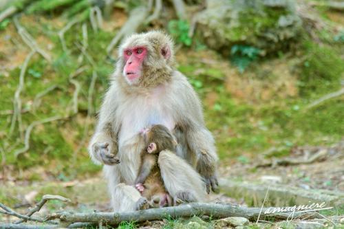monkey park iwatayama kyoto- ELA1237