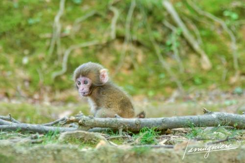 monkey park iwatayama kyoto- ELA1240