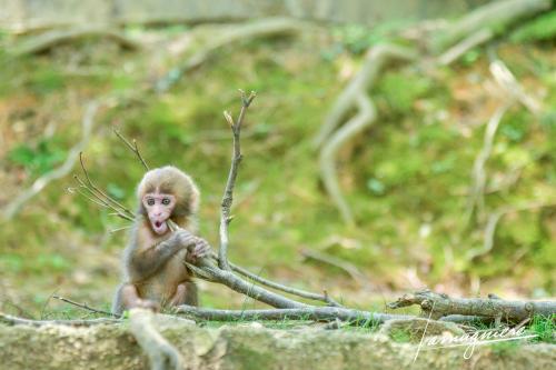 monkey park iwatayama kyoto- ELA1245