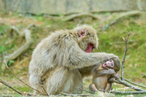 monkey park iwatayama kyoto- ELA1246