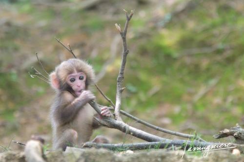 monkey park iwatayama kyoto- ELA1250